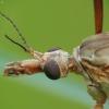 Ilgakojis uodas - Tipula paludosa   Fotografijos autorius : Vidas Brazauskas   © Macrogamta.lt   Šis tinklapis priklauso bendruomenei kuri domisi makro fotografija ir fotografuoja gyvąjį makro pasaulį.