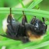 Kamanė - Bombus sp.   Fotografijos autorius : Vidas Brazauskas   © Macrogamta.lt   Šis tinklapis priklauso bendruomenei kuri domisi makro fotografija ir fotografuoja gyvąjį makro pasaulį.