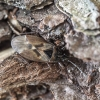 Kankorėžinė dirvablakė - Gastrodes abietum | Fotografijos autorius : Kazimieras Martinaitis | © Macrogamta.lt | Šis tinklapis priklauso bendruomenei kuri domisi makro fotografija ir fotografuoja gyvąjį makro pasaulį.