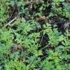 Karčioji kartenė - Cardamine amara | Fotografijos autorius : Ramunė Vakarė | © Macrogamta.lt | Šis tinklapis priklauso bendruomenei kuri domisi makro fotografija ir fotografuoja gyvąjį makro pasaulį.