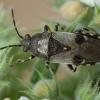 Katžolinė dirvablakė - Heterogaster cathariae | Fotografijos autorius : Žilvinas Pūtys | © Macrogamta.lt | Šis tinklapis priklauso bendruomenei kuri domisi makro fotografija ir fotografuoja gyvąjį makro pasaulį.