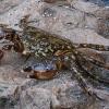 Krabas - Pachygrapsus transversus   Fotografijos autorius : Gintautas Steiblys   © Macrogamta.lt   Šis tinklapis priklauso bendruomenei kuri domisi makro fotografija ir fotografuoja gyvąjį makro pasaulį.