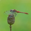 Kruvinoji skėtė - Sympetrum sanguineum | Fotografijos autorius : Aistė Matijošaitytė | © Macrogamta.lt | Šis tinklapis priklauso bendruomenei kuri domisi makro fotografija ir fotografuoja gyvąjį makro pasaulį.
