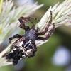 Kryžiuotis - Cyrtophora citricola | Fotografijos autorius : Vaida Paznekaitė | © Macrogamta.lt | Šis tinklapis priklauso bendruomenei kuri domisi makro fotografija ir fotografuoja gyvąjį makro pasaulį.