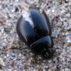 Žygiškasis kūdravabalis - Hydrochara caraboides | Fotografijos autorius : Vitalii Alekseev | © Macrogamta.lt | Šis tinklapis priklauso bendruomenei kuri domisi makro fotografija ir fotografuoja gyvąjį makro pasaulį.