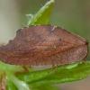 Lapasparnis - Drepanepteryx phalaenoides | Fotografijos autorius : Žilvinas Pūtys | © Macrogamta.lt | Šis tinklapis priklauso bendruomenei kuri domisi makro fotografija ir fotografuoja gyvąjį makro pasaulį.