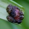 Lelijinis čiuželis - Lilioceris lilii (lerva)   Fotografijos autorius : Romas Ferenca   © Macrogamta.lt   Šis tinklapis priklauso bendruomenei kuri domisi makro fotografija ir fotografuoja gyvąjį makro pasaulį.