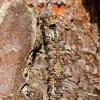 Vienuolis verpikas - Lymantria monacha, vikšras | Fotografijos autorius : Zita Gasiūnaitė | © Macrogamta.lt | Šis tinklapis priklauso bendruomenei kuri domisi makro fotografija ir fotografuoja gyvąjį makro pasaulį.