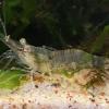 Mėlynžnyplė krevetė - Palaemon elegans   Fotografijos autorius : Gintautas Steiblys   © Macrogamta.lt   Šis tinklapis priklauso bendruomenei kuri domisi makro fotografija ir fotografuoja gyvąjį makro pasaulį.