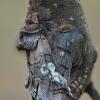 Mėlyngalvė diloba - Diloba caeruleocephala | Fotografijos autorius : Arūnas Eismantas | © Macrogamta.lt | Šis tinklapis priklauso bendruomenei kuri domisi makro fotografija ir fotografuoja gyvąjį makro pasaulį.