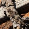 Mėlynsparnis tarkšlys - Oedipoda caerulescens   Fotografijos autorius : Ramunė Vakarė   © Macrogamta.lt   Šis tinklapis priklauso bendruomenei kuri domisi makro fotografija ir fotografuoja gyvąjį makro pasaulį.