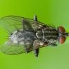 Mėsmusė - Sarcophaga pumila ♂ | Fotografijos autorius : Žilvinas Pūtys | © Macrogamta.lt | Šis tinklapis priklauso bendruomenei kuri domisi makro fotografija ir fotografuoja gyvąjį makro pasaulį.
