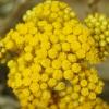 Maltiškasis šlamutis - Helichrysum melitense | Fotografijos autorius : Nomeda Vėlavičienė | © Macrogamta.lt | Šis tinklapis priklauso bendruomenei kuri domisi makro fotografija ir fotografuoja gyvąjį makro pasaulį.