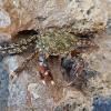 Marmurinis krabas - Pachygrapsus marmoratus   Fotografijos autorius : Gintautas Steiblys   © Macrogamta.lt   Šis tinklapis priklauso bendruomenei kuri domisi makro fotografija ir fotografuoja gyvąjį makro pasaulį.