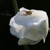 Marmurinis kryžiuotis - Araneus marmoreus | Fotografijos autorius : Agnė Našlėnienė | © Macrogamta.lt | Šis tinklapis priklauso bendruomenei kuri domisi makro fotografija ir fotografuoja gyvąjį makro pasaulį.