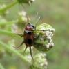 Morkinis salierinukas - Coptocephala unifasciata | Fotografijos autorius : Vitalii Alekseev | © Macrogamta.lt | Šis tinklapis priklauso bendruomenei kuri domisi makro fotografija ir fotografuoja gyvąjį makro pasaulį.