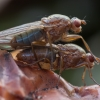 Musė - Dryomyza flaveola | Fotografijos autorius : Žilvinas Pūtys | © Macrogamta.lt | Šis tinklapis priklauso bendruomenei kuri domisi makro fotografija ir fotografuoja gyvąjį makro pasaulį.