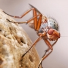 Musė - Scoliocentra villosa | Fotografijos autorius : Gintautas Steiblys | © Macrogamta.lt | Šis tinklapis priklauso bendruomenei kuri domisi makro fotografija ir fotografuoja gyvąjį makro pasaulį.