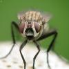 Žiedenė - Hydrophoria sp. | Fotografijos autorius : Vidas Brazauskas | © Macrogamta.lt | Šis tinklapis priklauso bendruomenei kuri domisi makro fotografija ir fotografuoja gyvąjį makro pasaulį.