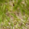 Musinis ofris - Ophrys insectifera | Fotografijos autorius : Žilvinas Pūtys | © Macrogamta.lt | Šis tinklapis priklauso bendruomenei kuri domisi makro fotografija ir fotografuoja gyvąjį makro pasaulį.