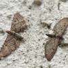 Eupithecia sp. | Fotografijos autorius : Vytautas Gluoksnis | © Macrogamta.lt | Šis tinklapis priklauso bendruomenei kuri domisi makro fotografija ir fotografuoja gyvąjį makro pasaulį.