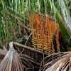 Lanksčioji mauricija - Mauritia flexuosa | Fotografijos autorius : Rasa Gražulevičiūtė | © Macrogamta.lt | Šis tinklapis priklauso bendruomenei kuri domisi makro fotografija ir fotografuoja gyvąjį makro pasaulį.