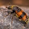 Paprastasis duobkasys - Nicrophorus vespillo | Fotografijos autorius : Eugenijus Kavaliauskas | © Macrogamta.lt | Šis tinklapis priklauso bendruomenei kuri domisi makro fotografija ir fotografuoja gyvąjį makro pasaulį.