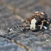 Paprastasis netikrastraublis - Platystomos albinus | Fotografijos autorius : Agnė Našlėnienė | © Macrogamta.lt | Šis tinklapis priklauso bendruomenei kuri domisi makro fotografija ir fotografuoja gyvąjį makro pasaulį.