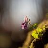 Paprastasis rūtenis - Corydalis solida  | Fotografijos autorius : Zita Gasiūnaitė | © Macrogamta.lt | Šis tinklapis priklauso bendruomenei kuri domisi makro fotografija ir fotografuoja gyvąjį makro pasaulį.