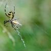 Paprastasis vapsvavoris | Wasp spider | Argiope bruennichi | Fotografijos autorius : Darius Baužys | © Macrogamta.lt | Šis tinklapis priklauso bendruomenei kuri domisi makro fotografija ir fotografuoja gyvąjį makro pasaulį.