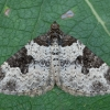 Paprastoji cidaria - Xanthorhoe fluctuata | Fotografijos autorius : Žilvinas Pūtys | © Macrogamta.lt | Šis tinklapis priklauso bendruomenei kuri domisi makro fotografija ir fotografuoja gyvąjį makro pasaulį.