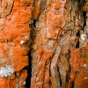 Pavėsinė trentepolija - Trentepohlia umbrina | Fotografijos autorius : Aleksandras Stabrauskas | © Macrogamta.lt | Šis tinklapis priklauso bendruomenei kuri domisi makro fotografija ir fotografuoja gyvąjį makro pasaulį.