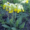 Pavasarinė raktažolė - Primula veris | Fotografijos autorius : Vitalii Alekseev | © Macrogamta.lt | Šis tinklapis priklauso bendruomenei kuri domisi makro fotografija ir fotografuoja gyvąjį makro pasaulį.