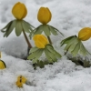Pavasarinis erantis - Eranthis hyemalis | Fotografijos autorius : Kęstutis Obelevičius | © Macrogamta.lt | Šis tinklapis priklauso bendruomenei kuri domisi makro fotografija ir fotografuoja gyvąjį makro pasaulį.