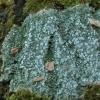 Pertusaria albescens | Fotografijos autorius : Vytautas Gluoksnis | © Macrogamta.lt | Šis tinklapis priklauso bendruomenei kuri domisi makro fotografija ir fotografuoja gyvąjį makro pasaulį.