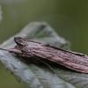 Pieninė kukulija - Cuculia lucifuga | Fotografijos autorius : Agnė Našlėnienė | © Macrogamta.lt | Šis tinklapis priklauso bendruomenei kuri domisi makro fotografija ir fotografuoja gyvąjį makro pasaulį.