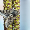 Pietinis šeriasprindis - Apocheima hispidaria   Fotografijos autorius : Vaida Paznekaitė   © Macrogamta.lt   Šis tinklapis priklauso bendruomenei kuri domisi makro fotografija ir fotografuoja gyvąjį makro pasaulį.