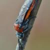 Pjūklelis - Dolerus madidus   Fotografijos autorius : Arūnas Eismantas   © Macrogamta.lt   Šis tinklapis priklauso bendruomenei kuri domisi makro fotografija ir fotografuoja gyvąjį makro pasaulį.