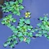 Plūduriuojantysis agaras - Trapa natans | Fotografijos autorius : Nomeda Vėlavičienė | © Macrogamta.lt | Šis tinklapis priklauso bendruomenei kuri domisi makro fotografija ir fotografuoja gyvąjį makro pasaulį.
