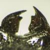 Platycerus   Fotografijos autorius : Giedrius Markevičius   © Macrogamta.lt   Šis tinklapis priklauso bendruomenei kuri domisi makro fotografija ir fotografuoja gyvąjį makro pasaulį.