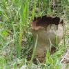 Didysis kukurdvelkis - Calvatia gigantea   Fotografijos autorius : Kazimieras Martinaitis   © Macrogamta.lt   Šis tinklapis priklauso bendruomenei kuri domisi makro fotografija ir fotografuoja gyvąjį makro pasaulį.