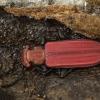 Purpurinis plokščiavabalis - Cucujus cinnaberinus   Fotografijos autorius : Kazimieras Martinaitis   © Macrogamta.lt   Šis tinklapis priklauso bendruomenei kuri domisi makro fotografija ir fotografuoja gyvąjį makro pasaulį.