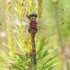 Raudonoji skėtė - Leucorhinia rubicunda , patinas | Fotografijos autorius : Vytautas Uselis | © Macrogamta.lt | Šis tinklapis priklauso bendruomenei kuri domisi makro fotografija ir fotografuoja gyvąjį makro pasaulį.