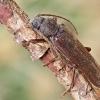 Rudasis gaisrasekis - Arhopalus rusticus   Fotografijos autorius : Gintautas Steiblys   © Macrogamta.lt   Šis tinklapis priklauso bendruomenei kuri domisi makro fotografija ir fotografuoja gyvąjį makro pasaulį.