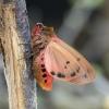 Rudoji meškutė - Phragmatobia fuliginosa  | Fotografijos autorius : Kazimieras Martinaitis | © Macrogamta.lt | Šis tinklapis priklauso bendruomenei kuri domisi makro fotografija ir fotografuoja gyvąjį makro pasaulį.