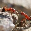 Raudongalvė skruzdėlė - Formica truncorum | Fotografijos autorius : Irenėjas Urbonavičius | © Macrogamta.lt | Šis tinklapis priklauso bendruomenei kuri domisi makro fotografija ir fotografuoja gyvąjį makro pasaulį.