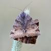 Rusvasis dobilinukas - Euclidia glyphica | Fotografijos autorius : Kazimieras Martinaitis | © Macrogamta.lt | Šis tinklapis priklauso bendruomenei kuri domisi makro fotografija ir fotografuoja gyvąjį makro pasaulį.