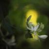 Amūrinis sausmedis - Lonicera maackii | Fotografijos autorius : Vidas Brazauskas | © Macrogamta.lt | Šis tinklapis priklauso bendruomenei kuri domisi makro fotografija ir fotografuoja gyvąjį makro pasaulį.