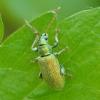 Sidabražvynis lapinukas - Phyllobius argentatus | Fotografijos autorius : Kazimieras Martinaitis | © Macrogamta.lt | Šis tinklapis priklauso bendruomenei kuri domisi makro fotografija ir fotografuoja gyvąjį makro pasaulį.
