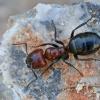Skruzdėlė - Camponotus ruber | Fotografijos autorius : Gintautas Steiblys | © Macrogamta.lt | Šis tinklapis priklauso bendruomenei kuri domisi makro fotografija ir fotografuoja gyvąjį makro pasaulį.